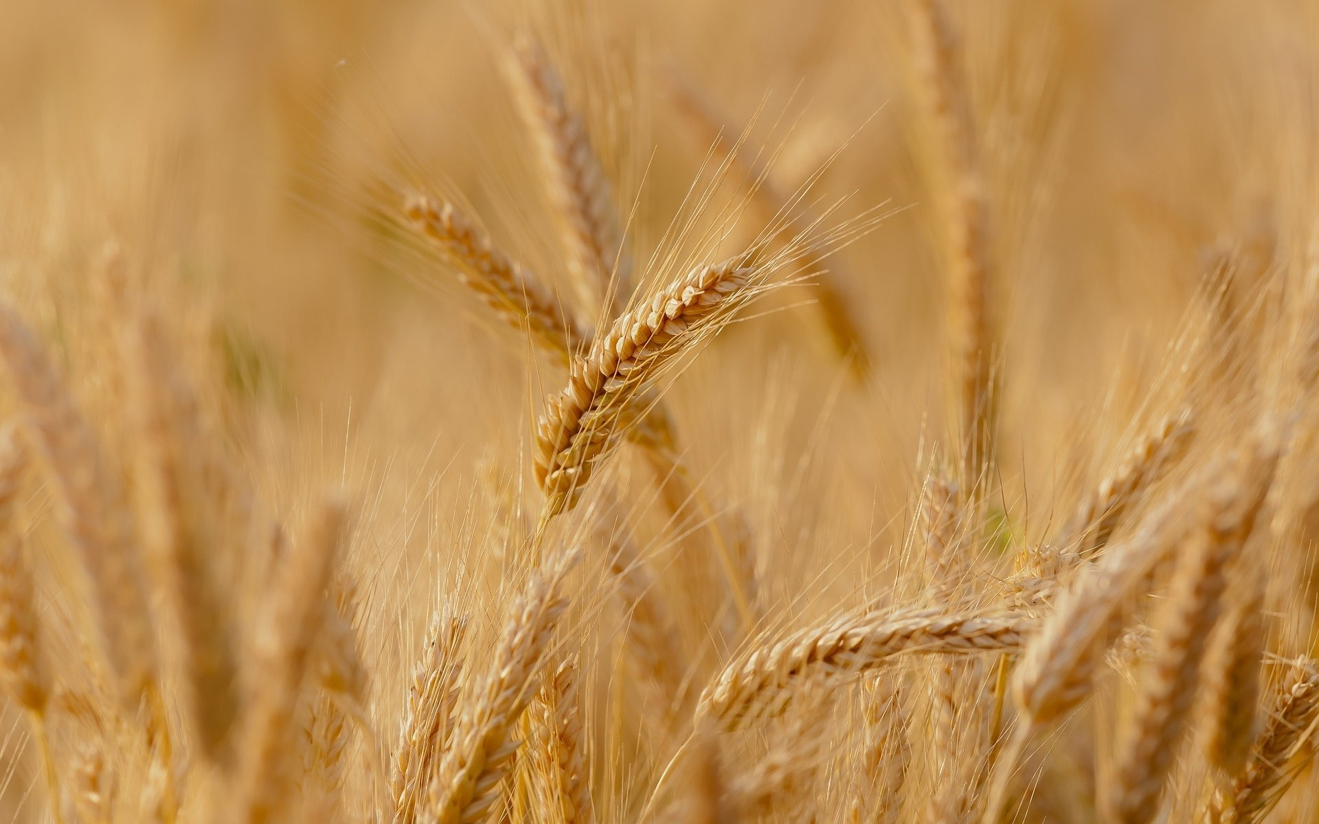 close-up-wheat-rye-the-field-ears-spikes-spike-background-wallpaper-widescreen-full-screen-widescreen-hd-wallpapers-background-wallpaper-widescreen-fullscreen-widescreen